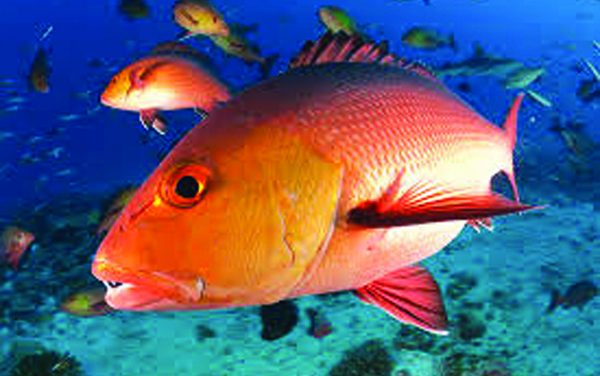 Mississippi Red Snapper Season Set to Reopen