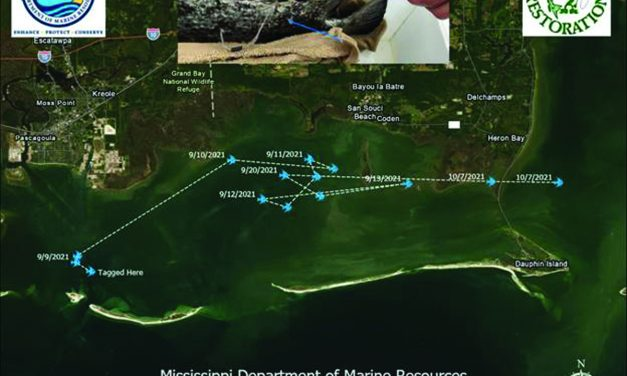 MDMR Fisheries Staff Tracking Tripletail with Satellite