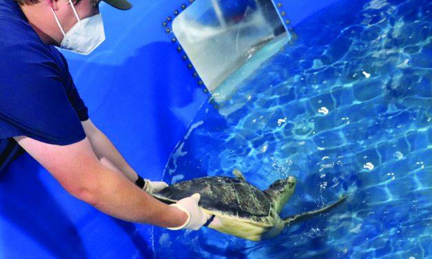 Kemp's Ridley Sea Turtles Receiving Treatment at Mississippi Aquarium